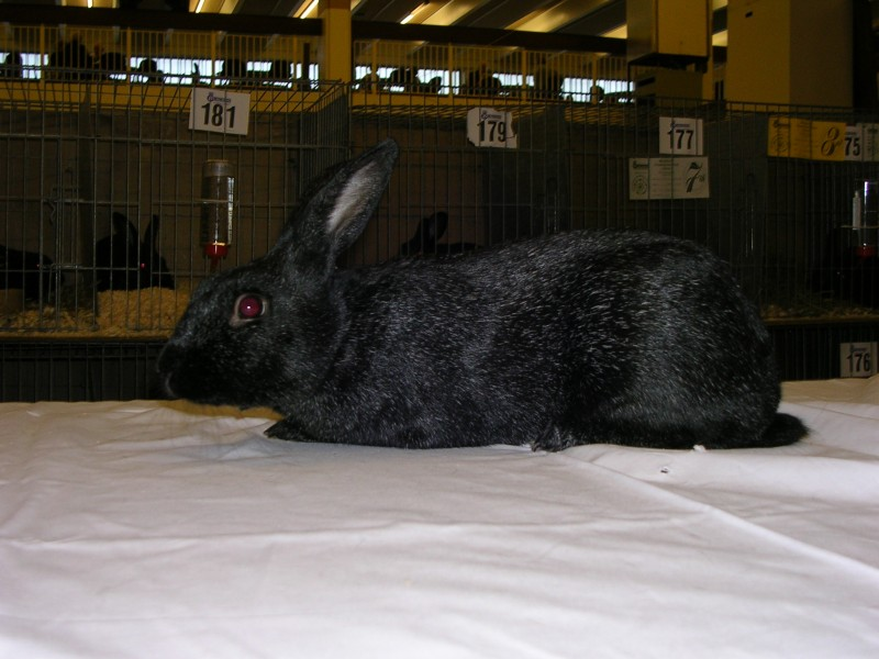 Silver Grey Rabbit